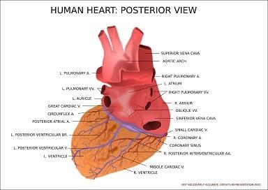 tłumaczenia kardiologia